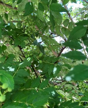 山椒の木.jpeg